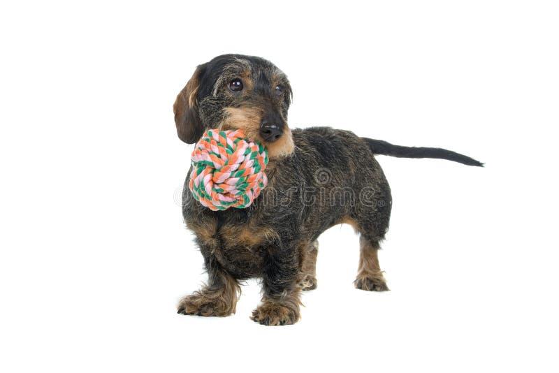 Dachshundhund mit Spielzeug stockbilder