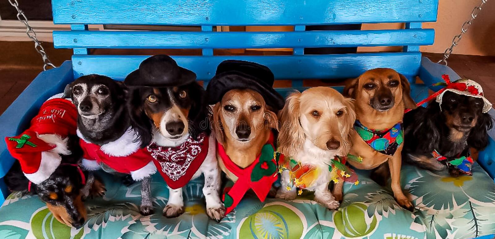Dachshunds all dressed up for Christmas. Seven dachshund dogs all dressed up in their Christmas outfits sitting in a blue swing posing for their picture...not at stock images