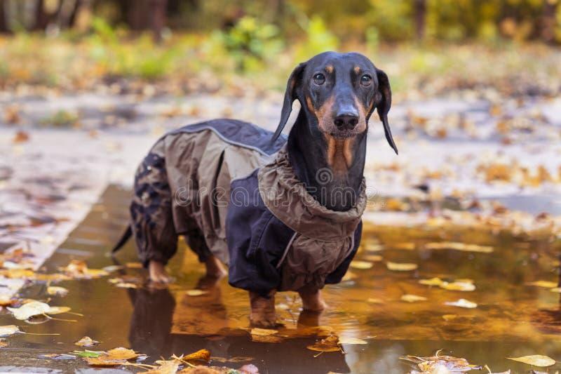 Dachshundzucht des Porträts bräunt sich die nette Hunde, schwarz und, angekleidet in einer Regenmantelstellung in einer Pfütze, k stockfoto