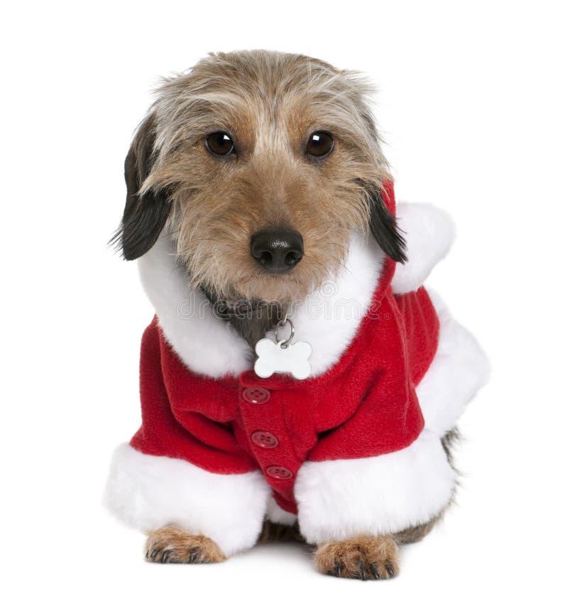 Dachsshund no revestimento de Santa, 2 anos velho fotos de stock