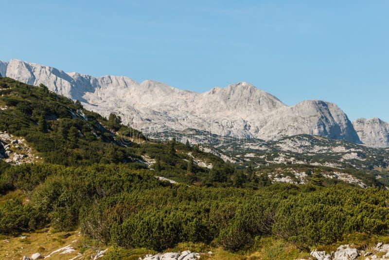 Dachstein-Gebirgsmassiv in den österreichischen Alpen mit zwergartigen Bergkiefersträuchen lizenzfreie stockbilder