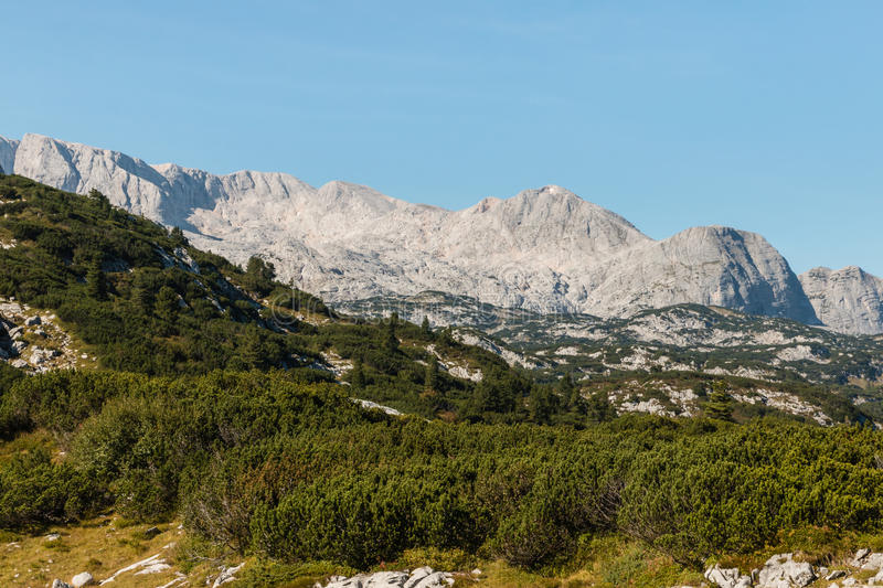 Dachstein massif in Austrian Alps with dwarf mountain pine shrubs royalty free stock images
