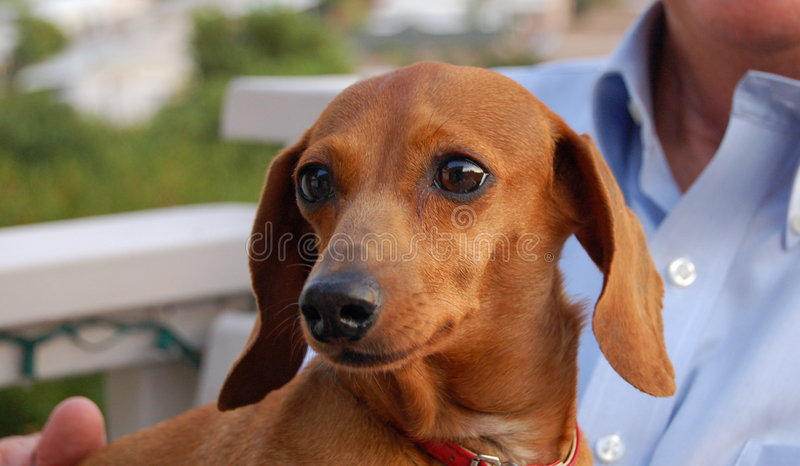 Download Dachsund stock image. Image of companion, brown, dachsund - 1118477