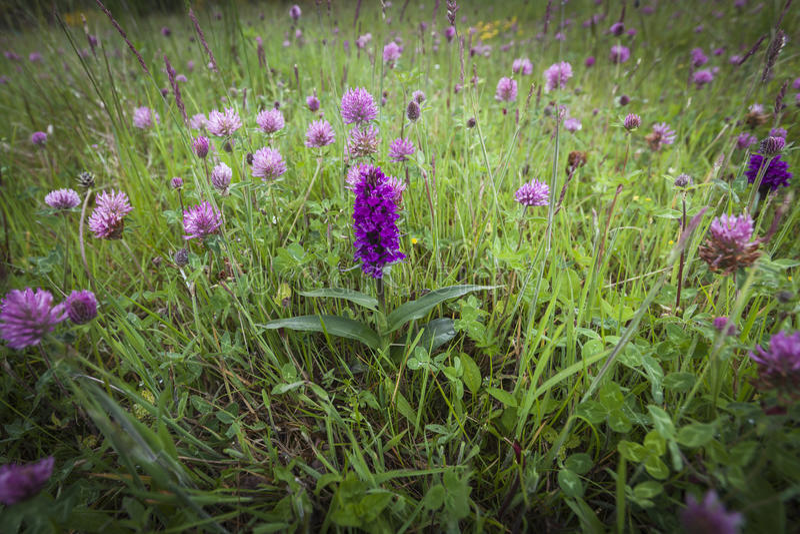 Dachylorhiza-incarnata früher Marsh Orchid in Schottland lizenzfreie stockfotos