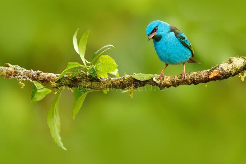 Dacnis blu, cayana di Dacnis, tanager sveglio tropicale esotico con la gamba gialla, Costa Rica Uccello canoro blu nell'habitat d immagine stock libera da diritti