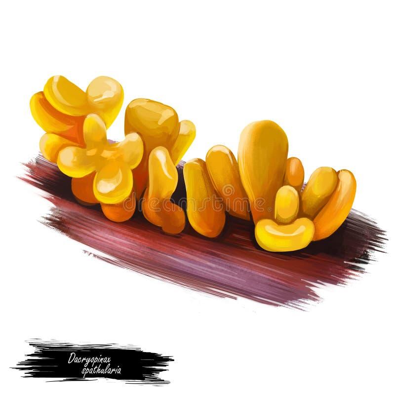 Dacryopinax spathularia Guepinia spathularia jadalne grzyby galaretowate, pomarańczowe. Jadalny grzyb wyizolowany na białym. Szt royalty ilustracja