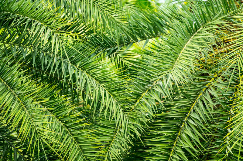 Dactylifera φύλλα του Phoenix στοκ εικόνα με δικαίωμα ελεύθερης χρήσης