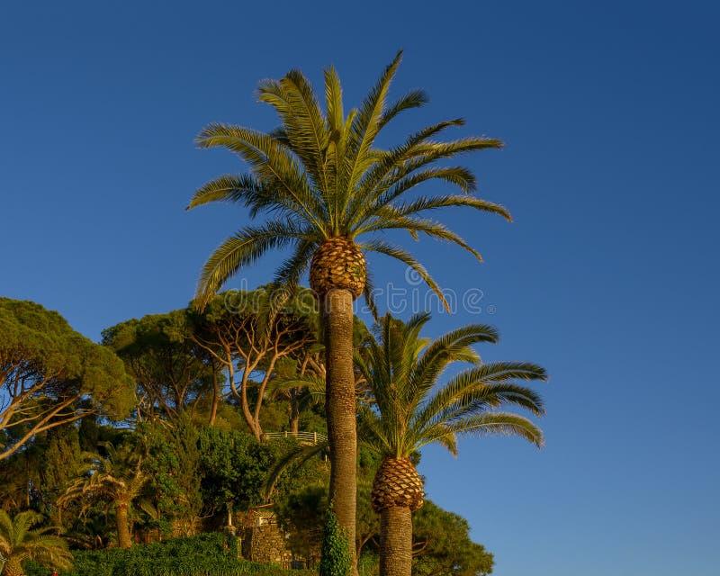 Dactylifera Palmen Phoenix und italienische Steinkiefern auf einem Abhang in Camogli, Italien stockfotos