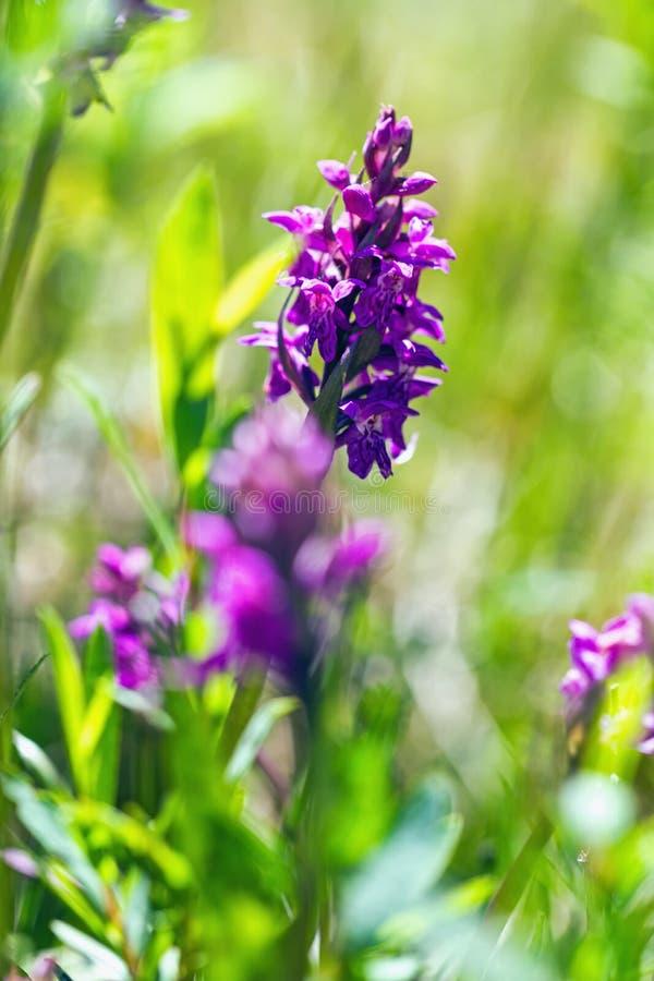 Dactylorhiza majalis - western marsh orchid, broad-leaved marsh orchid, fan orchid, common marsh orchid, Irish Marsh-orchid stock image