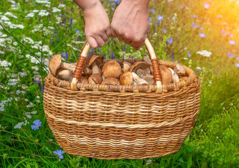Dad and daughter are holding a huge basket of mushrooms. hand mushroom picker with a wicker basket filled with forest delicacies. stock photo