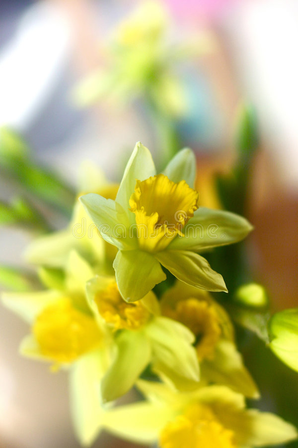 daddofil λουλούδια στοκ φωτογραφία με δικαίωμα ελεύθερης χρήσης
