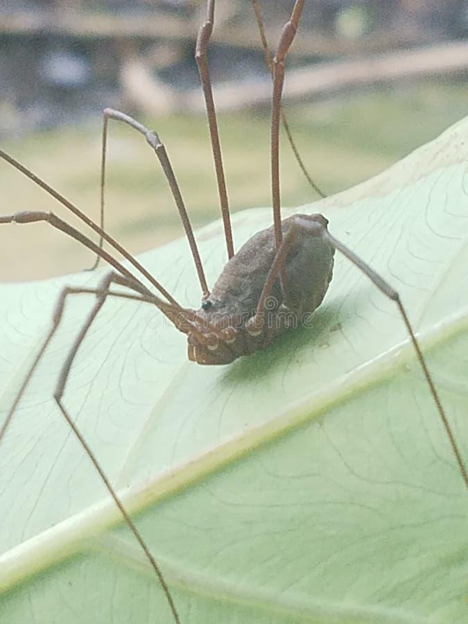 Daddy& x27;s长的腿蜘蛛 库存图片