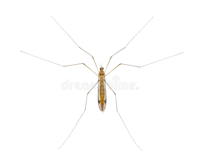 Download Daddy Long Legs, Mosquito Stock Photo - Image: 24991410