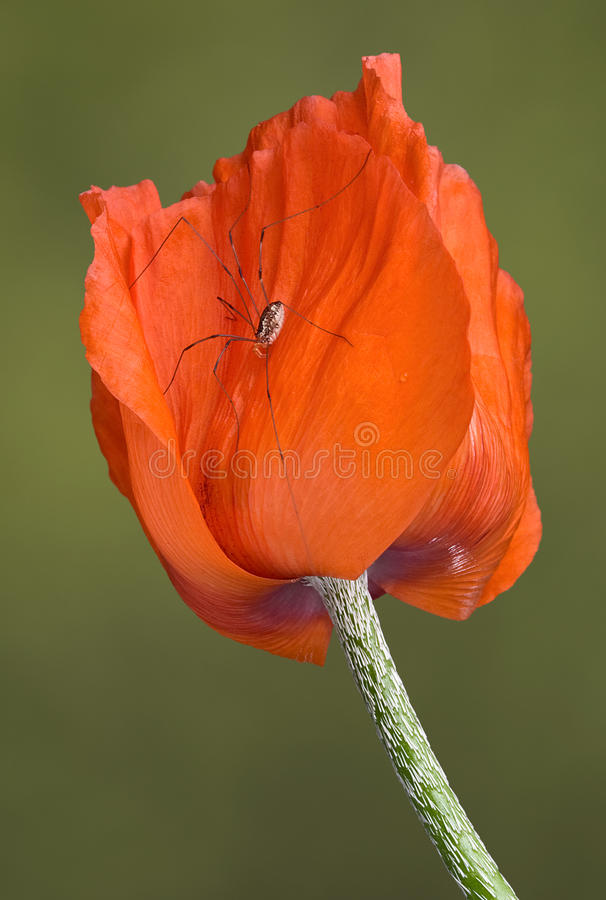 Download Daddy long legs on poppy stock photo. Image of hairy - 14782314