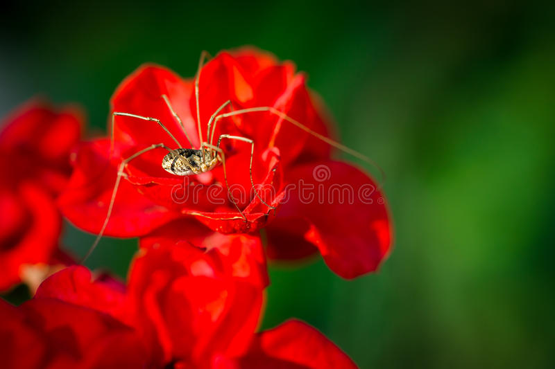 Daddy Long Legs On Red Flower Stock Photo