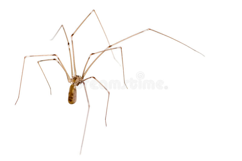 Daddy Long Legs Spider. Macro royalty free stock photography