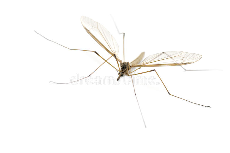 Daddy Longlegs. This image shows a daddy longlegs (also known as a Harvestman, Crane Fly or Cellar spider stock photography