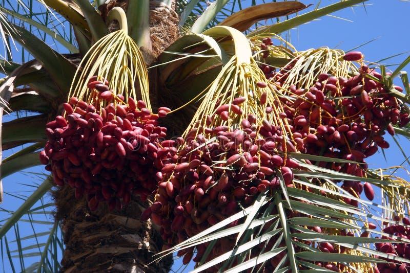 Dadelpalm met vruchten stock afbeelding