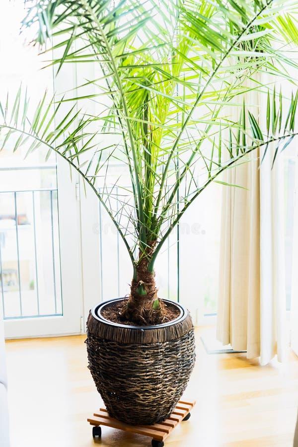 Dadelpalm in terrascontainer bij venster, huisbinnenland met tropische palminstallatie Dactylifera Phoenix royalty-vrije stock fotografie