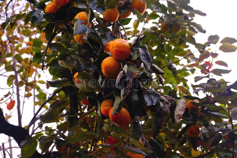 Dadelpruimboom, veel vruchten stock fotografie