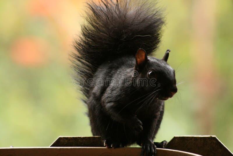 Dadi aspettanti del bello scoiattolo fotografia stock
