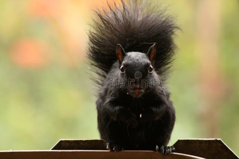 Dadi aspettanti del bello scoiattolo immagini stock