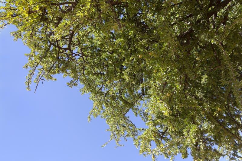 Dadi dell'argania spinosa sull'albero dell'argania spinosa (argania spinosa). fotografie stock