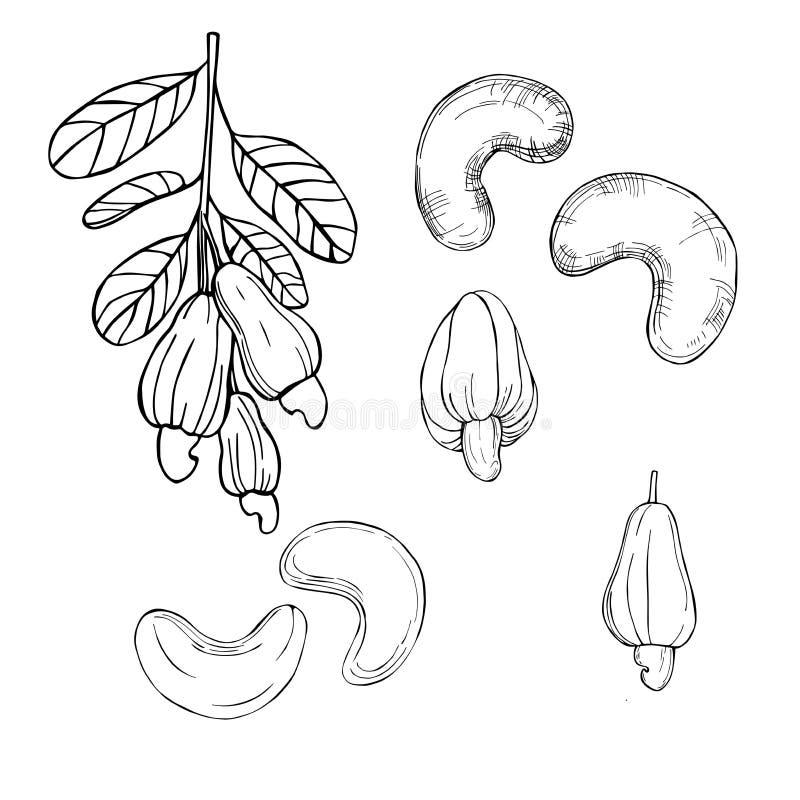 Dadi disegnati a mano Anacardi illustrazione vettoriale