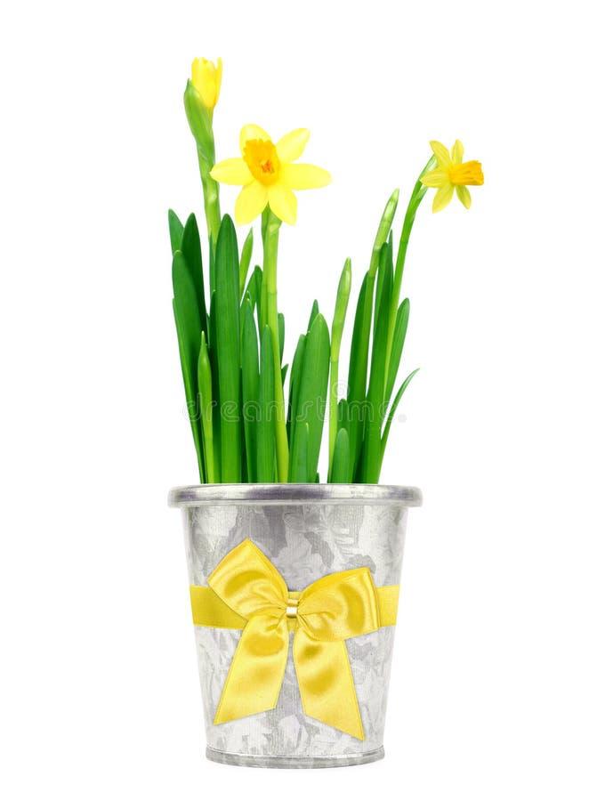 daffodil δοχείο στοκ εικόνες