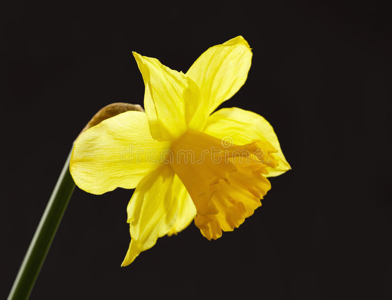 daffodil κίτρινος στοκ εικόνα με δικαίωμα ελεύθερης χρήσης