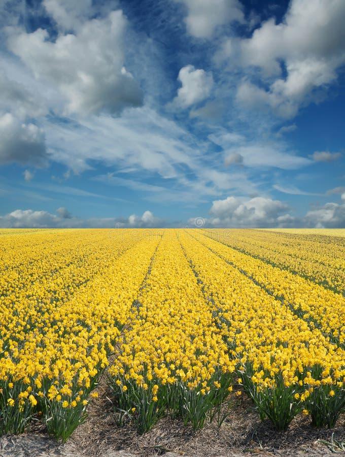 daffodil πεδία στοκ φωτογραφίες