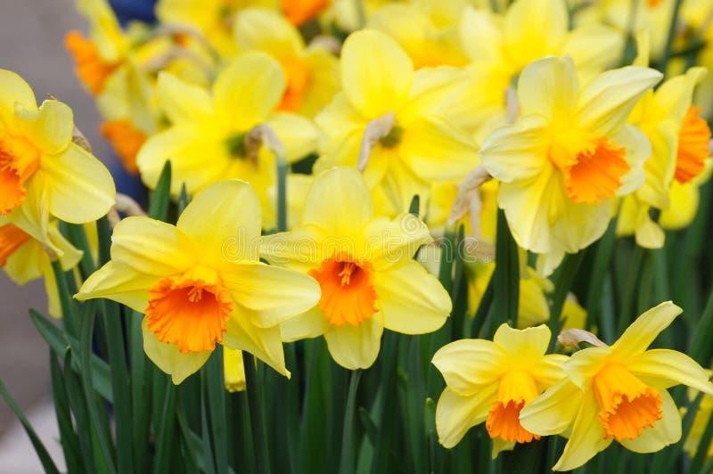 daffodil πεδίο στοκ φωτογραφίες