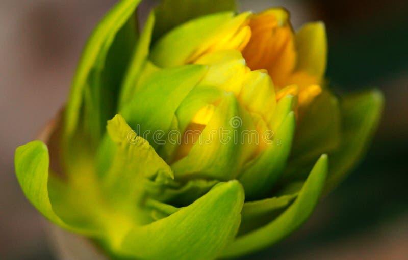 Daffodil την πρώιμη άνοιξη στοκ φωτογραφία με δικαίωμα ελεύθερης χρήσης