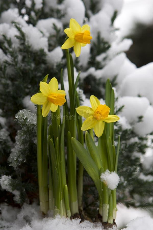 daffodil χιόνι κίτρινο στοκ φωτογραφία με δικαίωμα ελεύθερης χρήσης