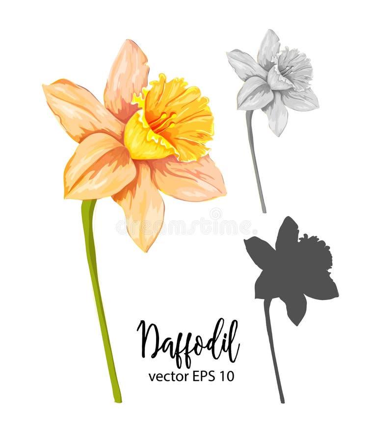Daffodil вектора, комплект цветка narcissus иллюстрация вектора