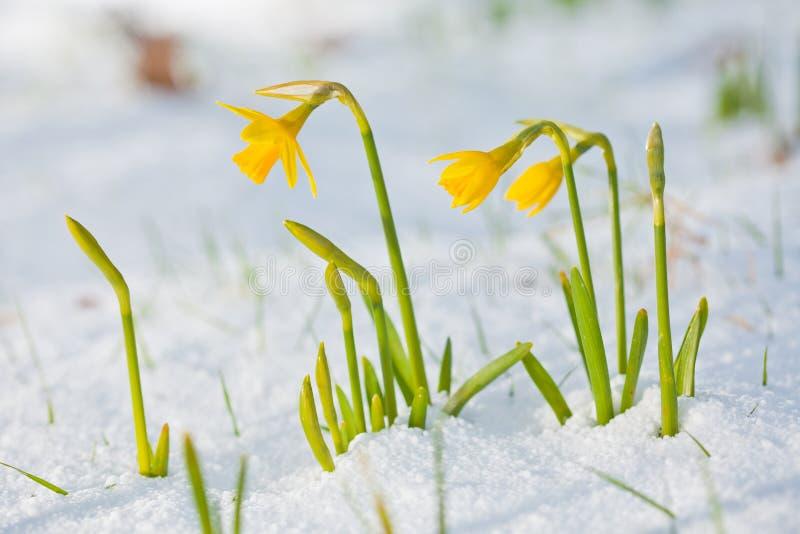 Daffodil зацветая через снежок стоковая фотография