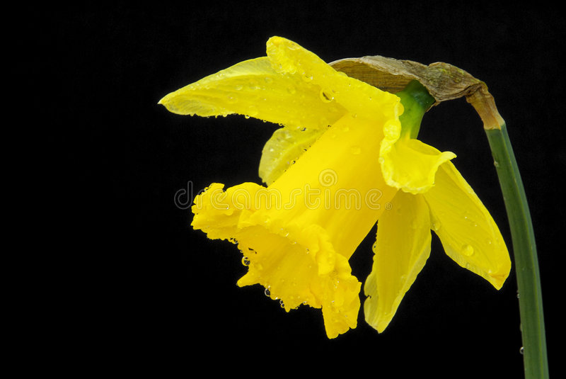 Daffodil на черноте стоковые фотографии rf