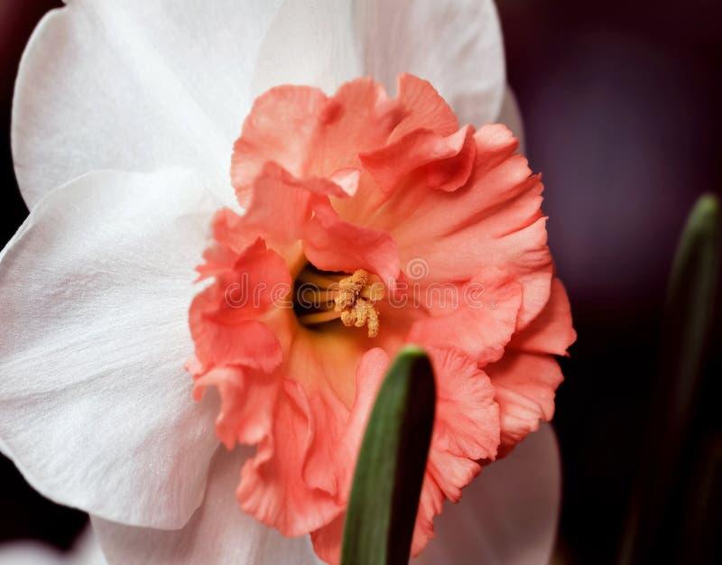 Daffodil принцессы с оранжевой серединой стоковая фотография