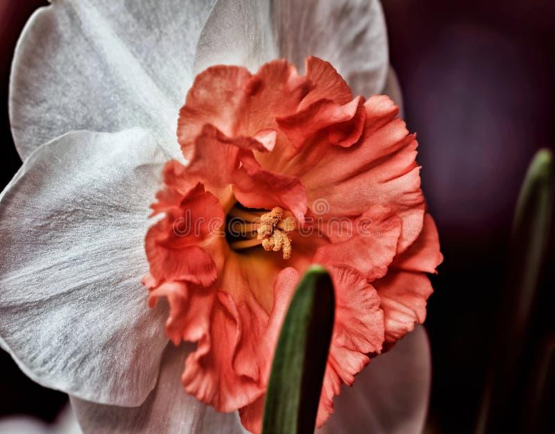 Daffodil с оранжевым концом середины стоковые фотографии rf