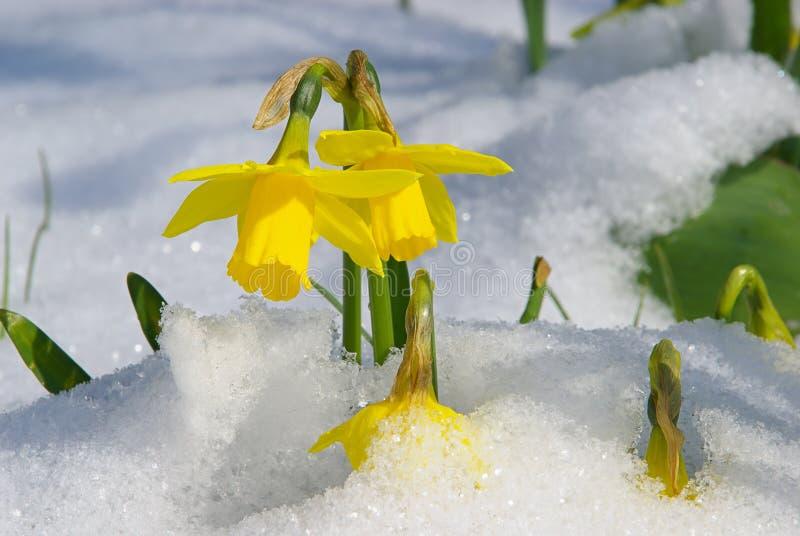 Daffodil 03 immagine stock