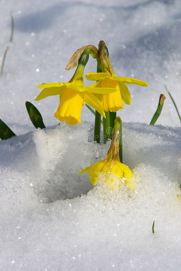Daffodil 04 stock photography