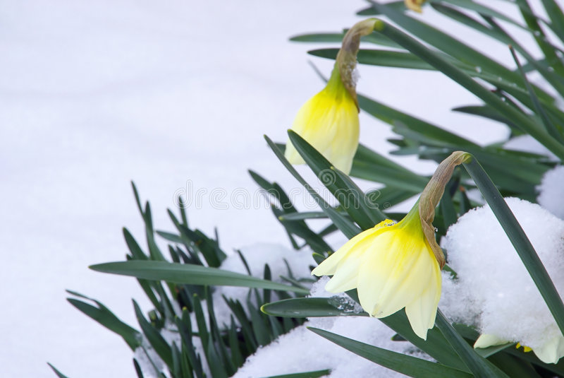 Daffodil 09 immagini stock libere da diritti