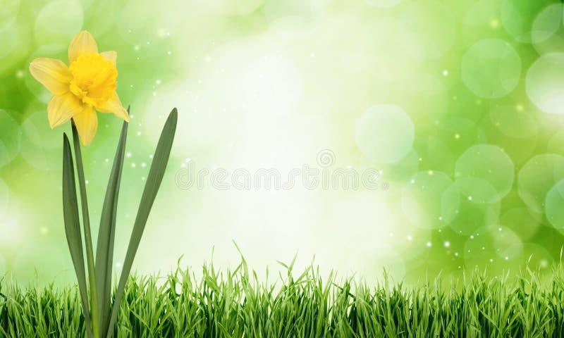 Daffodil ilustração do vetor