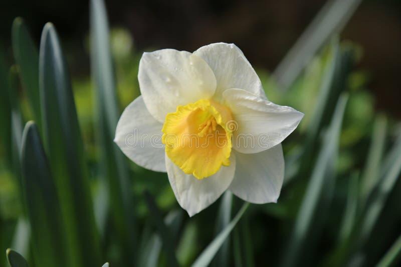 Daffodil imagem de stock