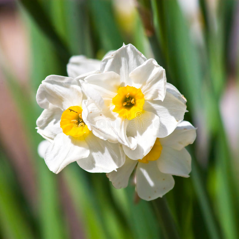 Download Daffodil stock image. Image of colourful, blooms, garden - 13554831