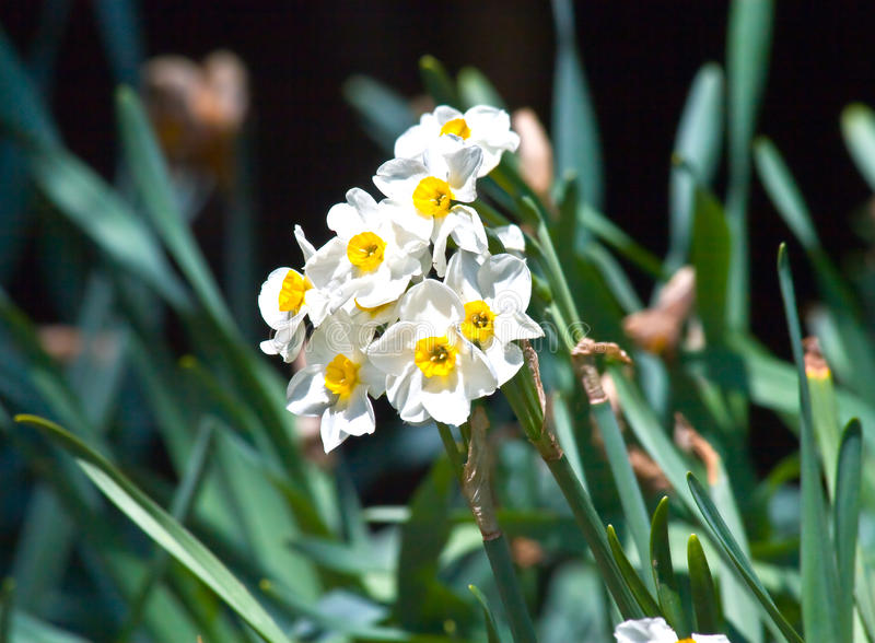 Download Daffodil Royalty Free Stock Photo - Image: 13555415