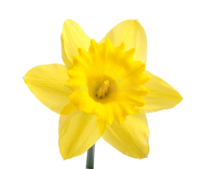 Download Daffodil stock photo. Image of image, bright, color, people - 14086000