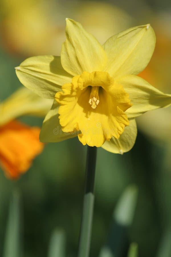 Download Daffodil στοκ εικόνες. εικόνα από άνοιξη, daffodil, λουλούδι - 2227836