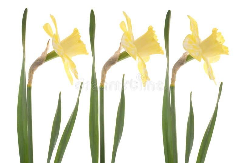 Download Daffodil στοκ εικόνα. εικόνα από florescence, daffodil - 22795683