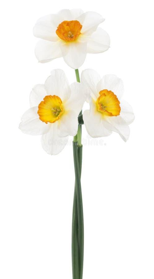 daffodil zdjęcia royalty free